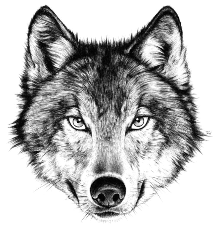 Draw Realistic Wolf Face Drawing How to Draw A Angry Wolf Face with How to Draw A Wolf Face