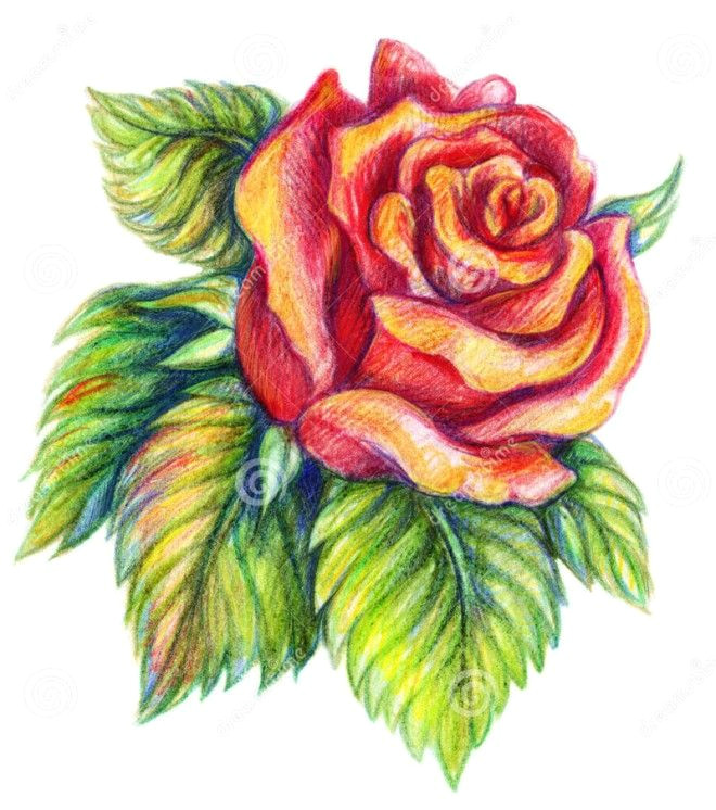Drawing Flowers with Colour Pencils 25 Beautiful Rose Drawings and Paintings for Your Inspiration