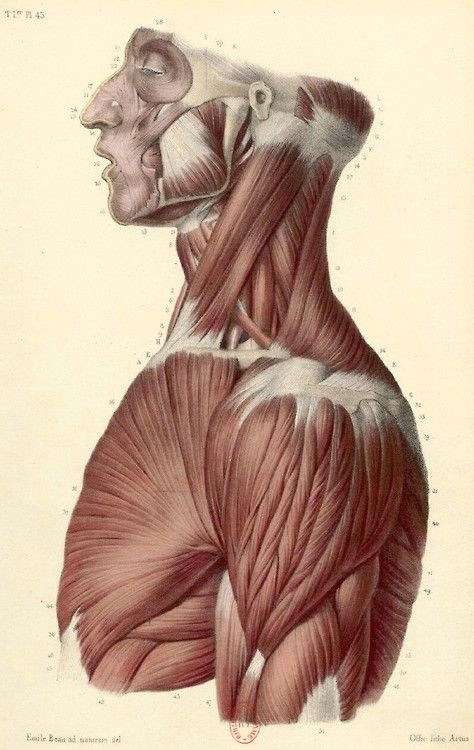 Drawing Neck Muscles Muscles Head Neck and torso Figure Drawing Anatomy Pinterest