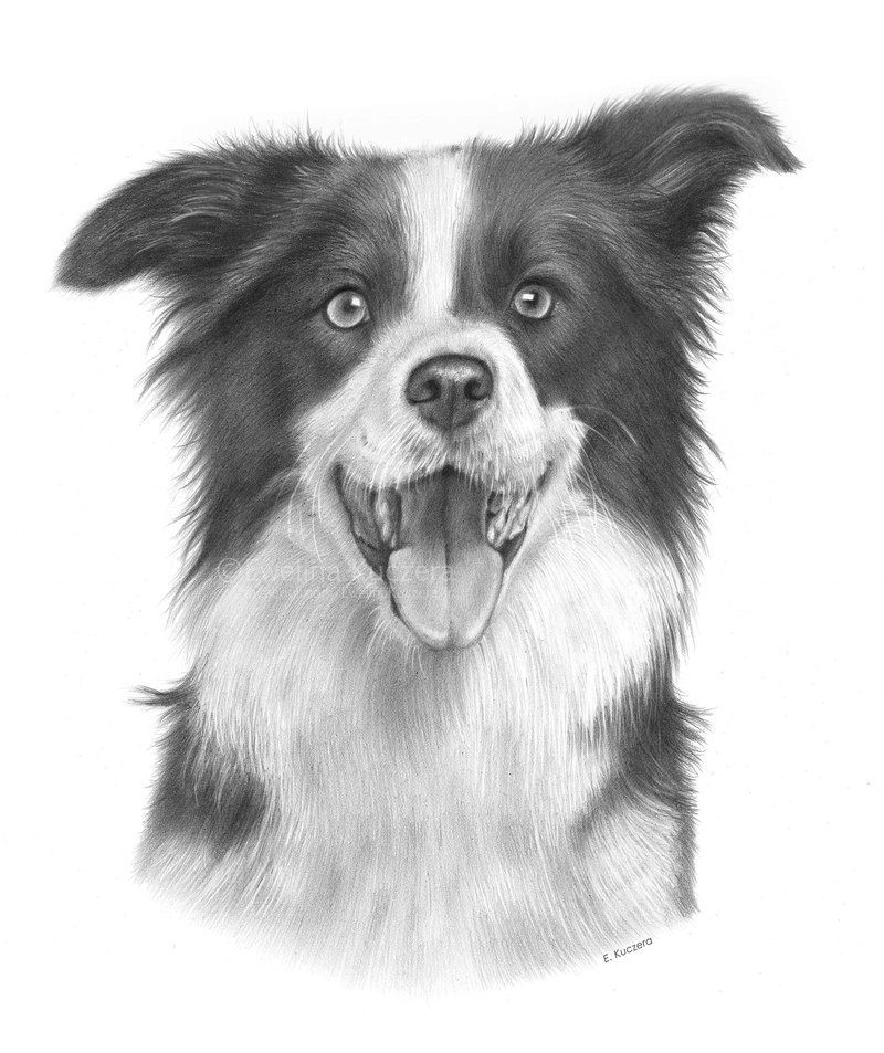 Drawing Of A Collie Dog Border Collie Drawing by Kot Filemon On Deviantart Border Collie
