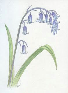 Drawing Of Bluebell Flower 90 Best Bluebells Images In 2019 Water Colors Watercolour
