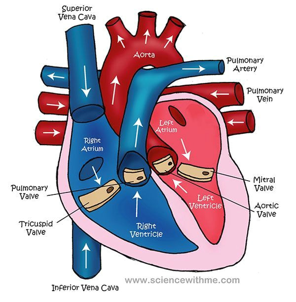 Drawing Of Heart Blood Flow Learn About the Heart Video and Diagram Me Cardiology