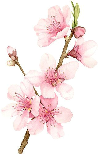 Drawing Of Sakura Flower Peach Blossom Cherry Blossoms Watercolor Watercolor Flowers