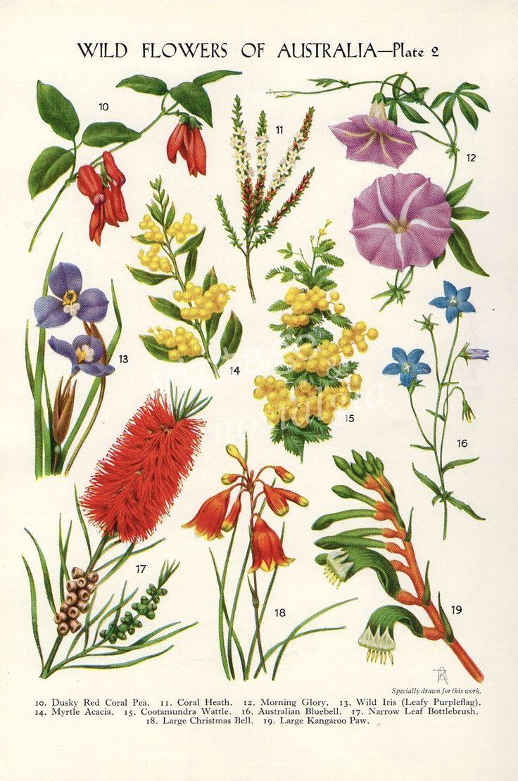 Drawings Of Native Flowers Australian Flora Drawings Google Search Garden Botanical