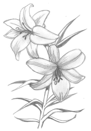 Drawings Of Roses to Print Lily Flowers Drawings Flowers Madonna Lily by Syris Darkness