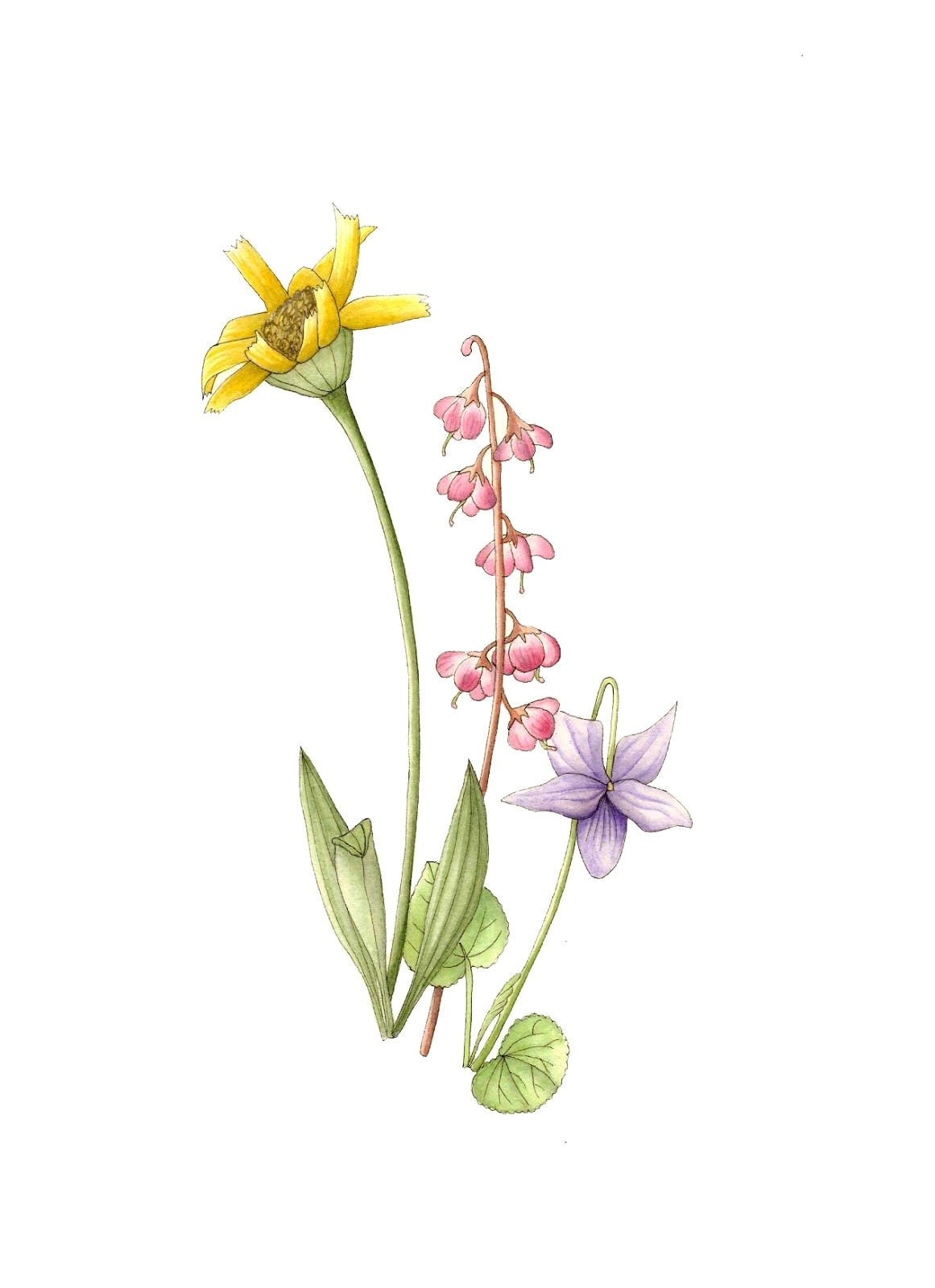 Drawings Of Violets Flowers Wild Violet Flower Drawings Posted by Laura ashton at 2 49 Pm