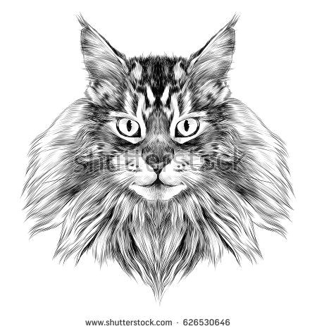 Picture Of A Drawing Of A Cat Cat Breed Maine Coon Face Sketch Vector Black and White Drawing