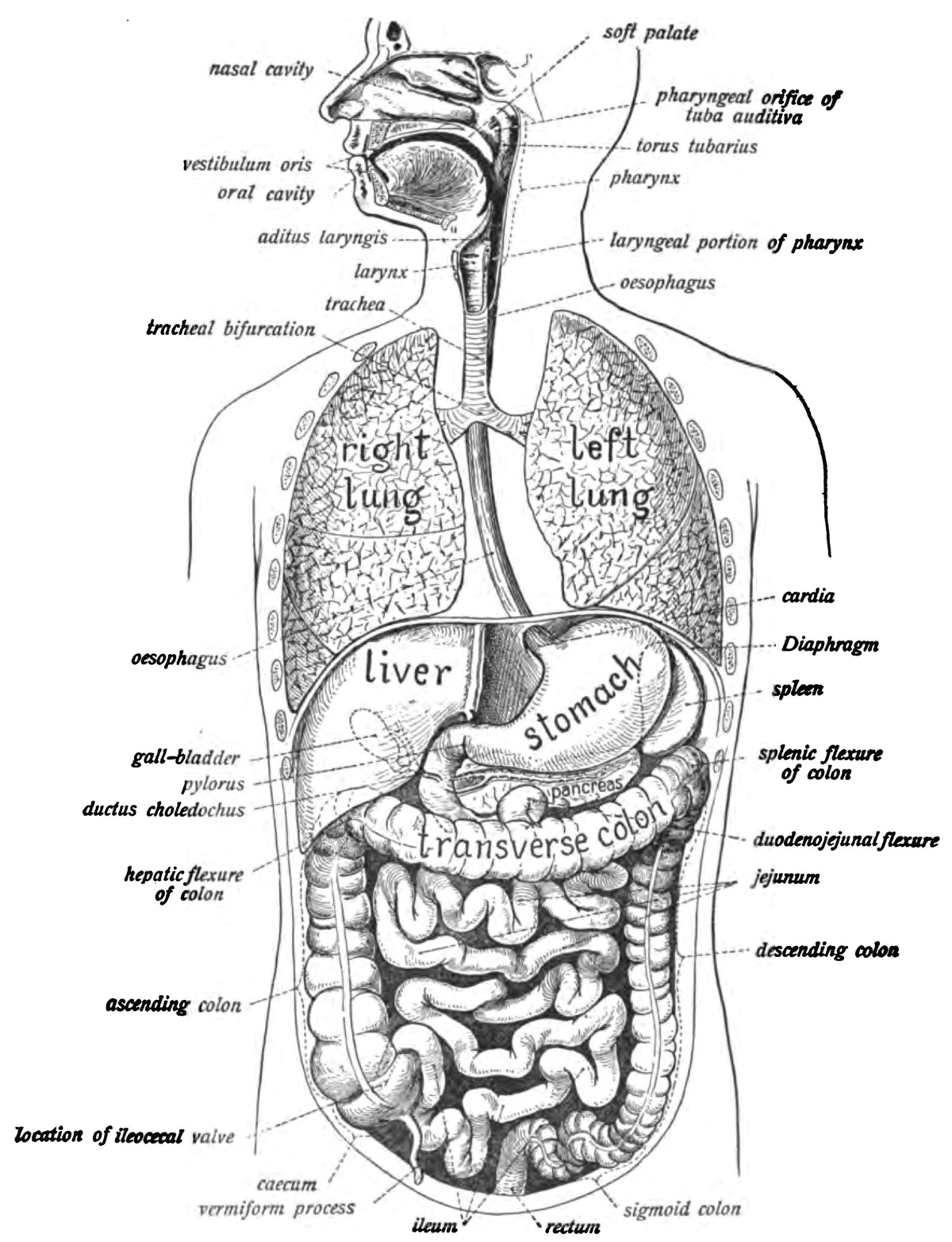 Digestive System Drawing Easy Human Digestive System Wikipedia