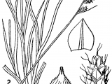 0 and 1 Drawing Datei Carex Brunnescens Drawing 1 Png Wikipedia