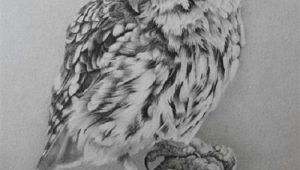 0wl Drawing Little Owl Realistic Pencil Drawing by British Wildlife Artist