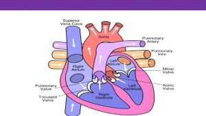 A Drawing Of the Heart and Labeled Parts Of the Heart and their Functions