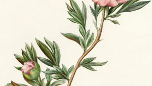 Botanical Drawing Of A Rose Peony From the Collection Of Botanical Illustrations Of Flowers by