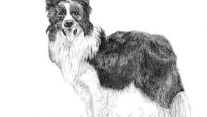 Collie Drawing Easy Pin by Frejareuter18 On Drawing Border Collie Collie Dog