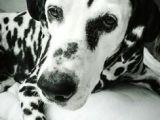 Dalmatian Dog Drawing I Love Dalmations I M An Animal Lover Pinterest Dalmatian