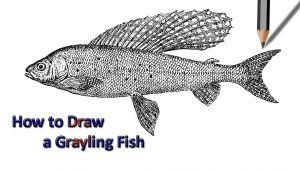 Dogfish Drawing Grayling Fish Drawing Drawing Drawings Fish Drawings Easy Drawings