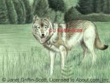 Draw A Wolf Laying Down How to Draw A Wolf In Colored Pencil