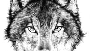 Drawing A Angry Wolf Drawing How to Draw A Angry Wolf Face with How to Draw A Wolf Face