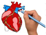 Drawing A Human Heart Step by Step How to Draw Human Heart Anatomy Color Drawing for Kids How to Draw