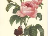 Drawing A Pink Rose Pink Rose Botanical Art Print by Pierre Redoute Rosa Centifolia A