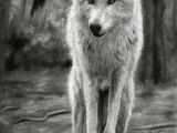 Drawing A Wolf Realistic 180 Best Wolf Drawings Images Drawing Techniques Drawing