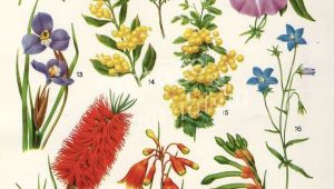 Drawing Australian Native Flowers Australian Flora Drawings Google Search Tattoos Pinterest