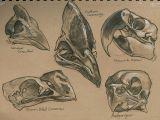 Drawing Bird Skull Pin by Tessa Self On Skull and Bone Bird Skull Skull Animal Skulls