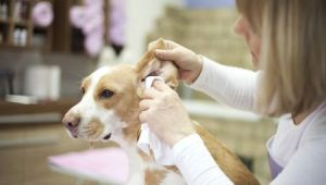 Drawing Blood From Dog S Ear How to Clean Your Dog S Ears