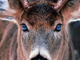 Drawing Deer Eyes Fantastic Photo Showing Reflection In the Bucks Eyes Nothing Was