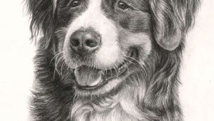 Drawing Dogs with Pencil Beautiful Bernese Mountain Dog 3 Drawings Of Dogs Mountain Dogs