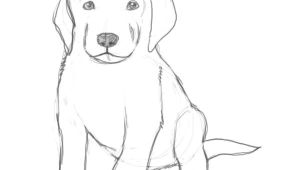Drawing Easy Labrador How to Draw A Puppy Drawing Drawings Puppy Drawing Sketches