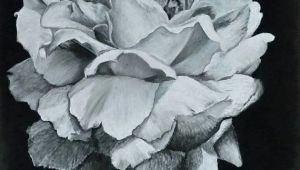 Drawing Flowers On Black Paper Drawing Of A Peony In White Charcoal On Black Paper Prints