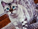 Drawing Of A Bengal Cat 117 Best Kitties Images Kawaii Drawings Cool Drawings Cats