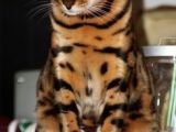 Drawing Of A Bengal Cat 445 Best On the Wild Side Bengal Cats Images Cat Breeds Bengal