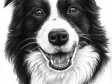 Drawing Of A Collie Dog Border Collie Smile Drawing by Nicole Zeug Saatchi Art
