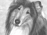 Drawing Of A Collie Dog Fella Portrait Commission This is A Graphite Pencil Drawing that I