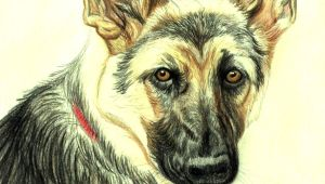 Drawing Of A Dog Lying Down Drawing Lesson A German Shepherd In Colored Pencil