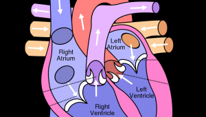 Drawing Of A Heart and Label 10 Facts About the Human Heart Anatomy Physiology Anatomy
