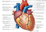 Drawing Of A Human Heart and Its Parts Pictures Of Human Heart Anatomy Anatomy Of the Human Heart 4k Ultra