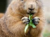 Drawing Of A Prairie Dog 337 Best Prairie Dogs Images Adorable Animals Rodents Cutest Animals