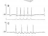 Drawing Of An Heart Membrane Potential Responses Of the Cardiac Ganglion Cg Neuron to