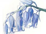 Drawing Of Bluebell Flower Bluebells Painting Google Search Drawings to Practice