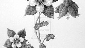 Drawing Of Columbine Flower Columbine Flower Columbine Flower by Scheheraz Odd On Deviantart