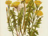Drawing Of Dandelion Flower 1870 Botanical original Antique Print Yellow Flowers Dandelion
