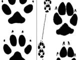 Drawing Of Dog Tracks How to Tell the Difference Between Coyote Dog Tracks Survival