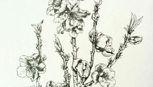 Drawing Of Flower Bud Nectarine Blossoms Lots Of Flower Buds at the Moment Hoping for A