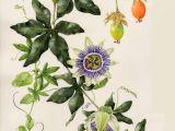 Drawing Of Flower Growing A A Ae Ae C Aoo Ae E Ao 18ssa E Pinterest Flowersa Passion Flower