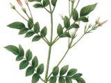Drawing Of Flower Jasmine Jasmine Flower Botanical Drawing Google Search Plus Zeichnen