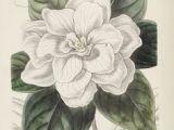 Drawing Of Gardenia Flower 54 Best Gardenia Tattoo Images Gardenia Tattoo Floral Tattoos