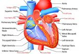 Drawing Of Heart Arteries Heart Anatomy Click for the Free Study Guide On the Circulatory