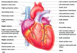 Drawing Of Heart Arteries Labeled Cardiac Muscle Human Anatomy Drawing Pinterest Heart